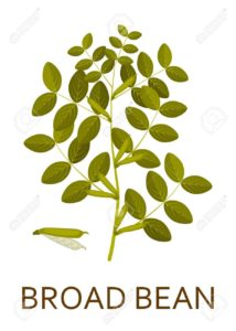 Image of fava bean / broad bean tree