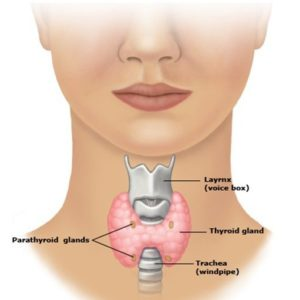 Image of thyroid gland